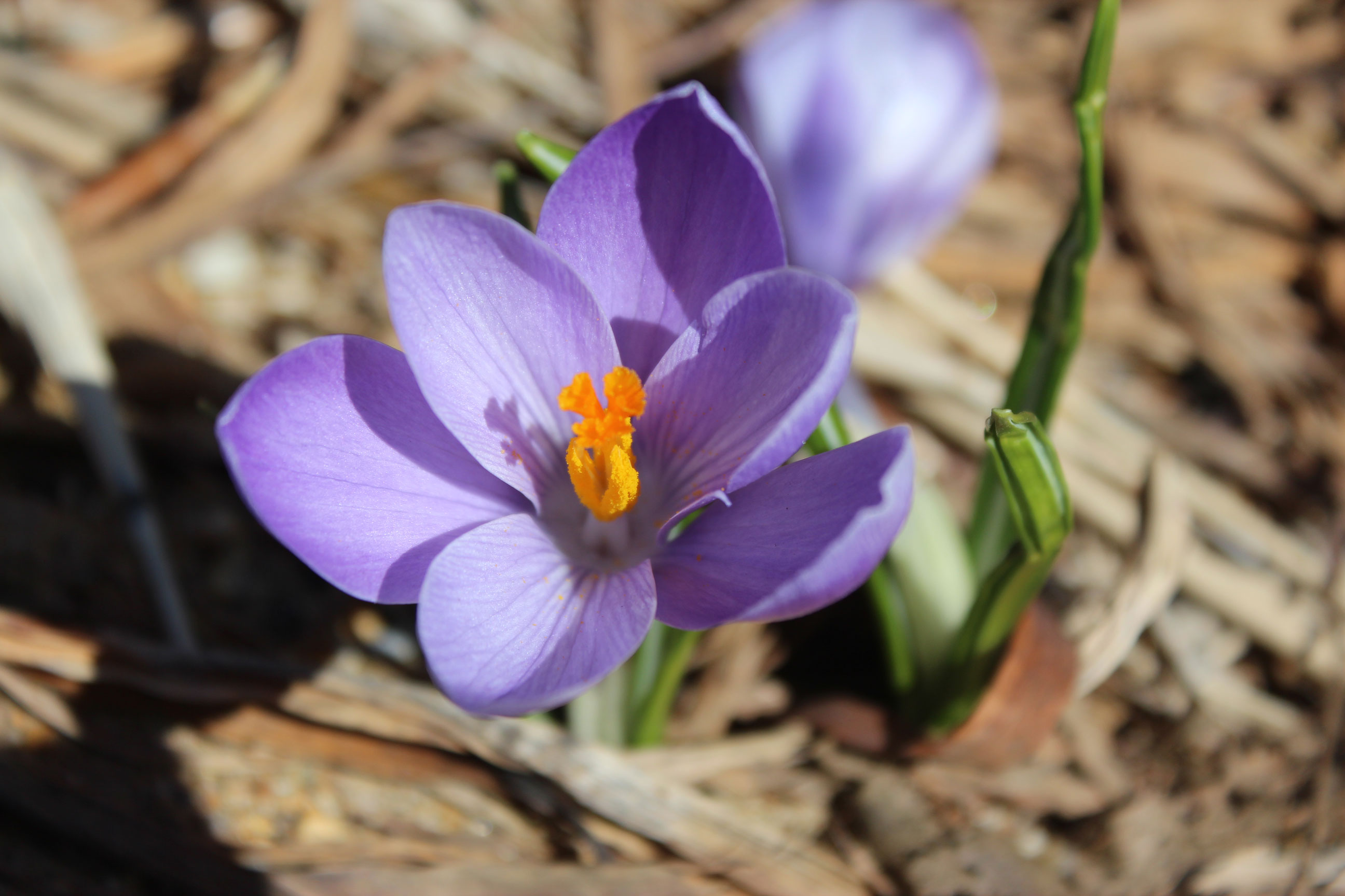 A crocus in spring